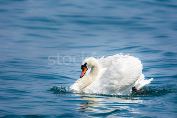 White Swan Stock photo © manfredxy