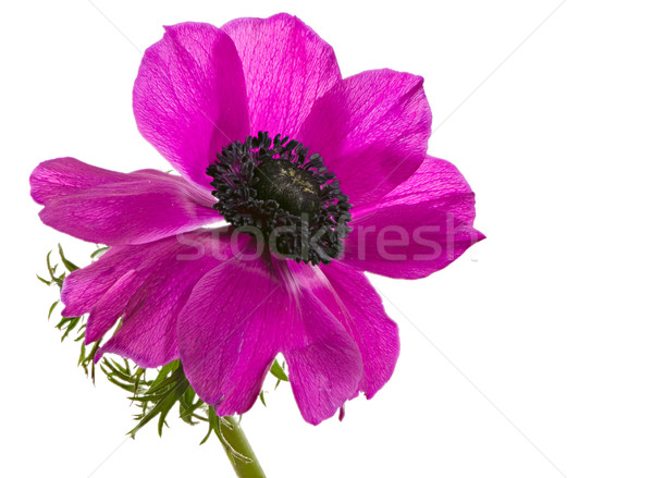 Isolated purple anemone flower blossom Stock photo © manfredxy
