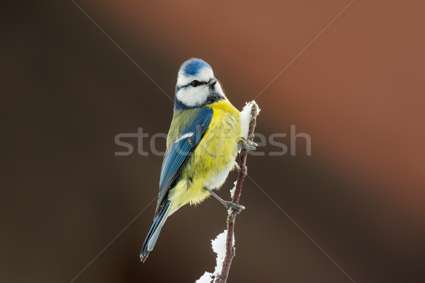 Blue tit bird sitting on a snow covered tree Stock photo © manfredxy