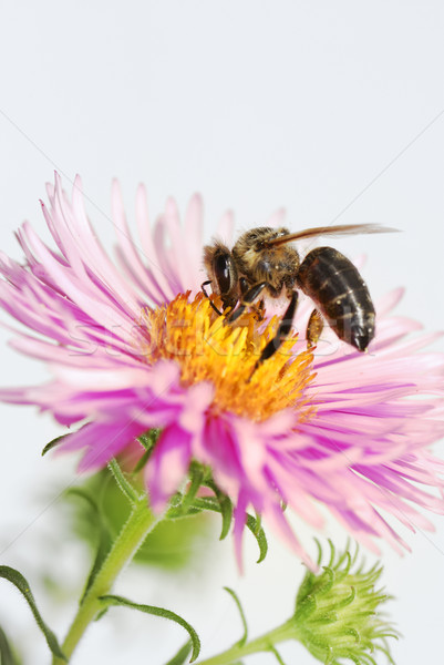 Honeybee at an aster Stock photo © manfredxy