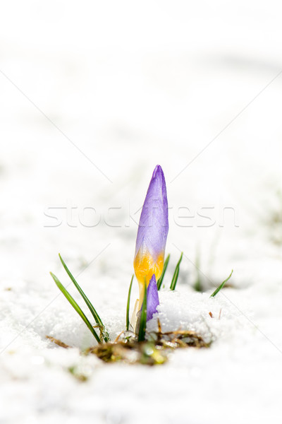 Purple Crocus Flower in the Snow Stock photo © manfredxy