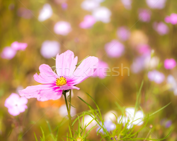 Flowering summer meadow Stock photo © manfredxy
