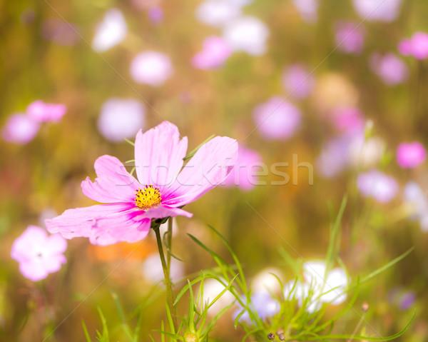 цветения лет луговой избирательный подход цветы розовый Сток-фото © manfredxy