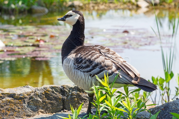 Closeup of a barnacle goose Stock photo © manfredxy