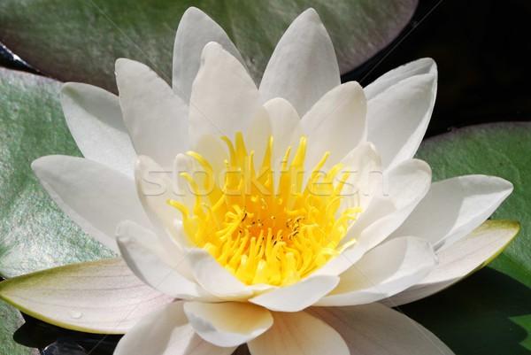White lotus flower Stock photo © manfredxy