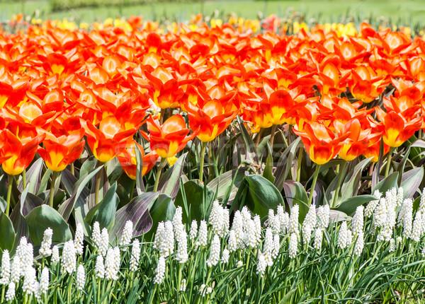 Orange tulipes lit de fleurs plein floraison printemps Photo stock © manfredxy