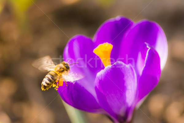 Bee flying to a purple crocus flower Stock photo © manfredxy