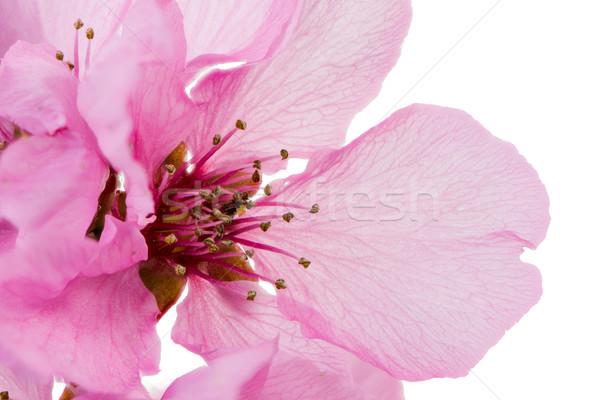Geïsoleerd roze perzik bloesem macro bloem Stockfoto © manfredxy