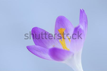 Isolated purple crocus flower blossom Stock photo © manfredxy