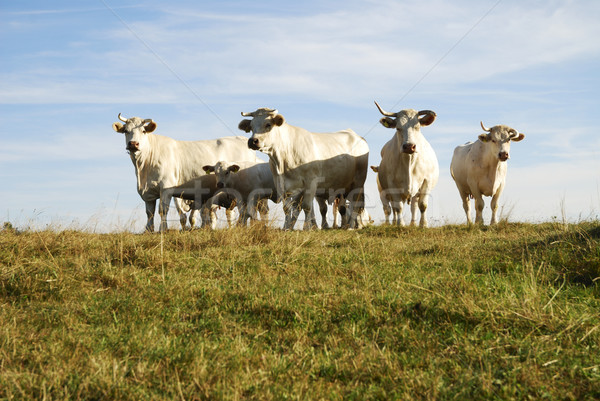 Bovins troupeau blanche vaches nature domaine Photo stock © manfredxy