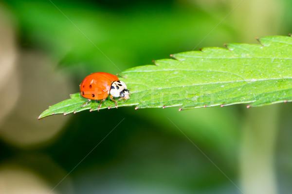 Lieveheersbeestje vergadering groen blad blad Rood plant Stockfoto © manfredxy