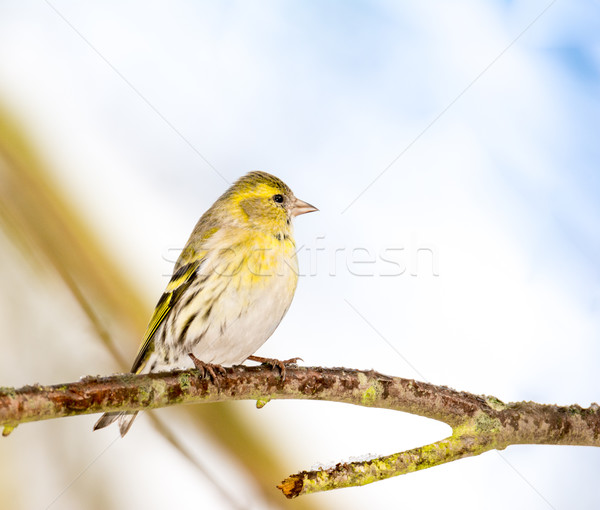 Eurasian siskin sitting on the branch of a tree Stock photo © manfredxy
