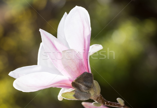 цветения магнолия дерево белый Blossom веточка Сток-фото © manfredxy