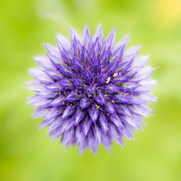 Abstract flower macro of a blue thistle Stock photo © manfredxy