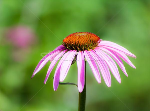 Echinacea purpurea blossom Stock photo © manfredxy