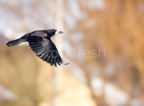 Uçan siyah karga kanat Stok fotoğraf © manfredxy