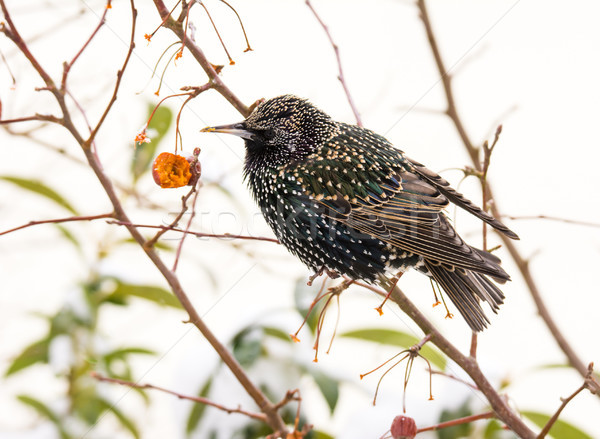 Closeup of a common starling Stock photo © manfredxy
