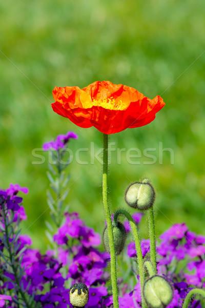 Piros pipacs virágoskert virágágy növény szirmok Stock fotó © manfredxy