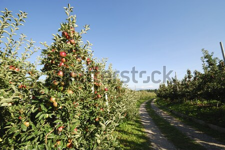 Pomme plantation fruits alimentaire nature Photo stock © manfredxy