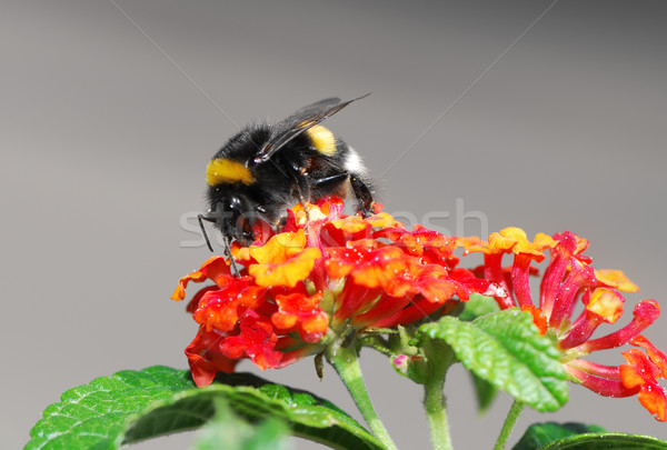 Bumble bee Stock photo © manfredxy