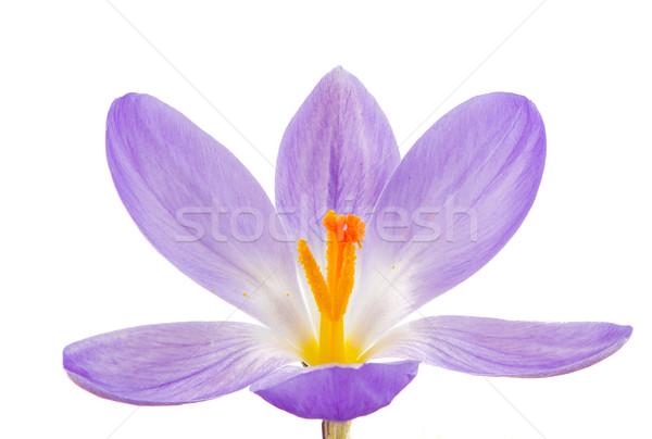 Isolado roxo açafrão flor macro flor Foto stock © manfredxy