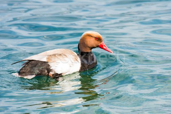 Pato rojo pico naturaleza natación Foto stock © manfredxy