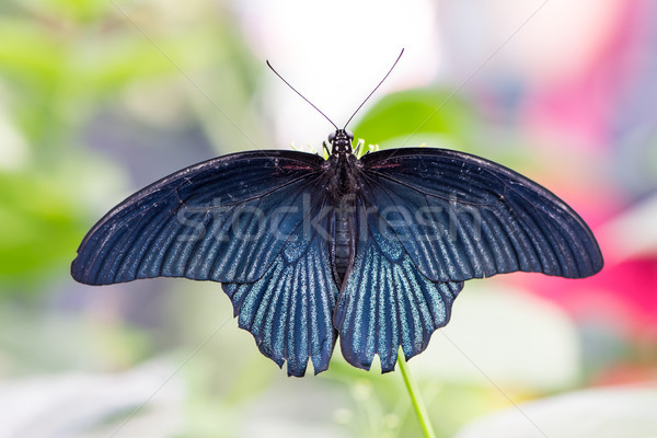 Tropical Great Mormon butterfly (Papilio Memnon) Stock photo © manfredxy