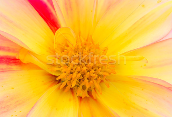 Detail dahlia bloem bloesem Rood Stockfoto © manfredxy