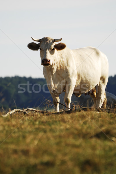 White Cow Stock photo © manfredxy