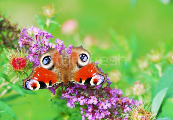 Paon papillon séance fleur nature Photo stock © manfredxy