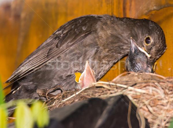 Mirlo bebés nido naturaleza pluma Foto stock © manfredxy