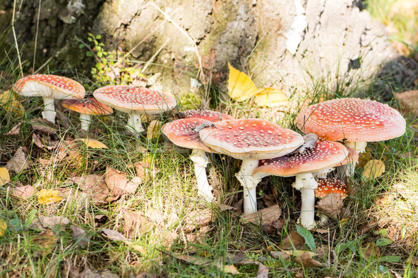 Group of red fly agaric musrooms Stock photo © manfredxy