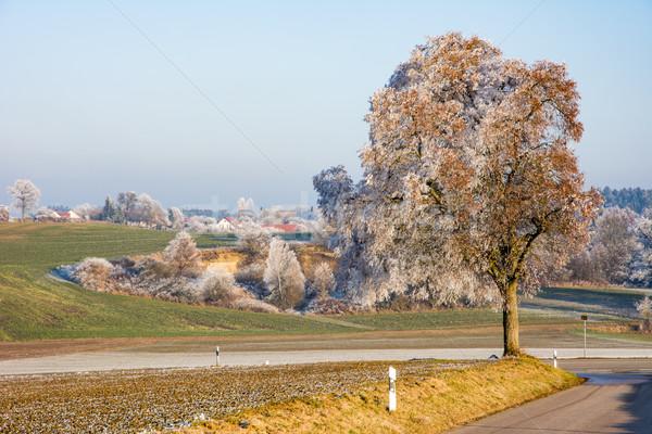 Magányos fa fedett fagy út természet Stock fotó © manfredxy