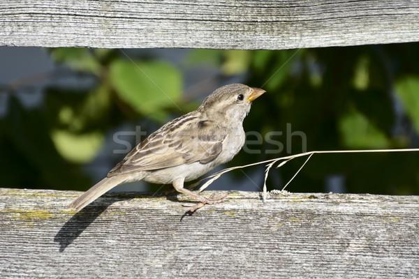 Sparrow Bird Stock photo © manfredxy