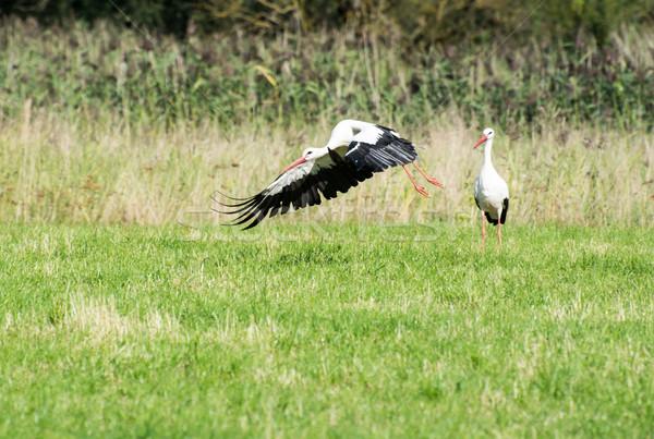 Voador branco cegonha prado aves animal Foto stock © manfredxy