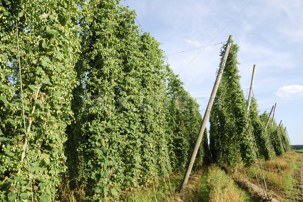 Növekvő komló zöld növény szőlő mezőgazdaság Stock fotó © manfredxy