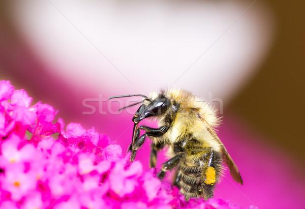 Pszczoła fioletowy kwiaty nektar Zdjęcia stock © manfredxy