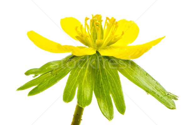 Isolated yellow blossom of winter aconite Stock photo © manfredxy
