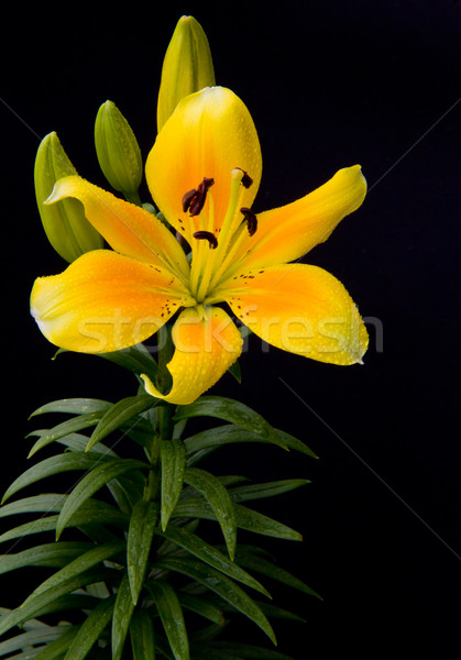 yellow flower Stock photo © Marcogovel