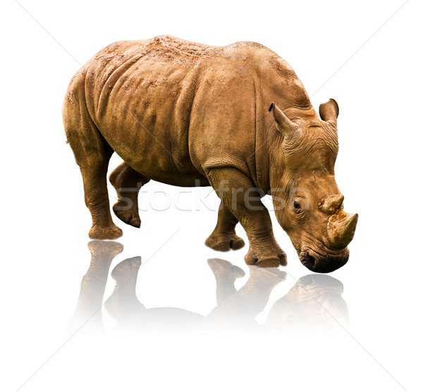 rhino Stock photo © Marcogovel