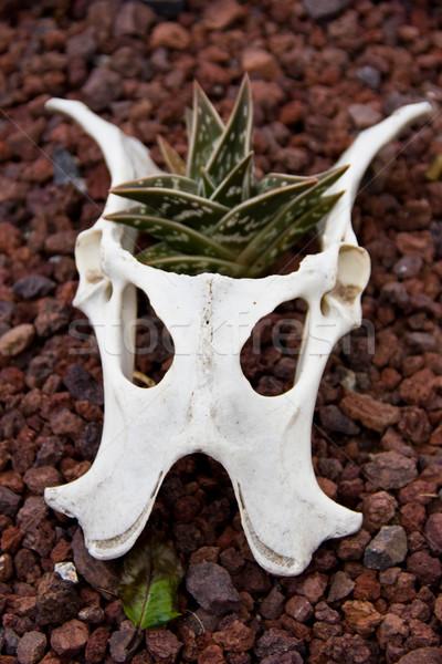 animal skull Stock photo © Marcogovel