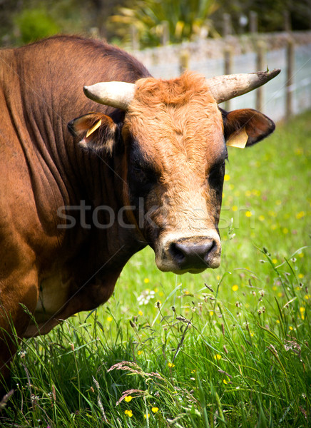 bull Stock photo © Marcogovel