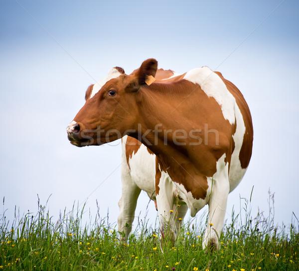 cow Stock photo © Marcogovel