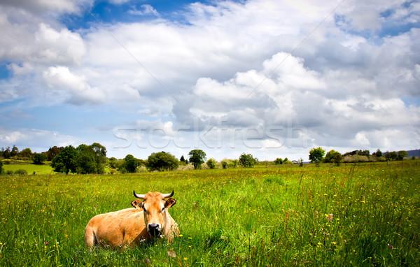 Vache portrait prairie herbe paysage été Photo stock © Marcogovel