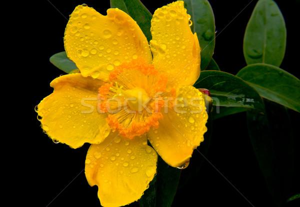 Fleur jaune noir nature jardin été rouge Photo stock © Marcogovel