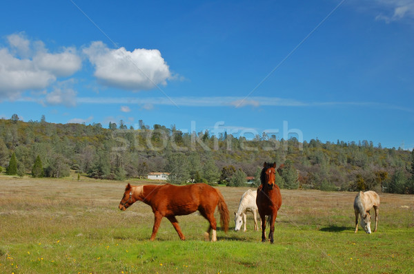 horses in a field Stock photo © marcopolo9442