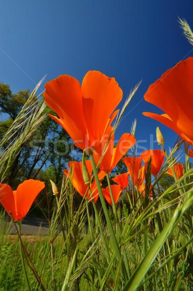 Oranje klaprozen wildflower Californië bloem Stockfoto © marcopolo9442