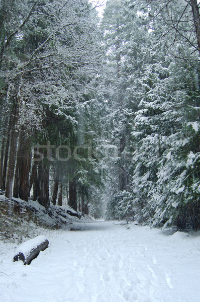 snowy trail in the woods Stock photo © marcopolo9442
