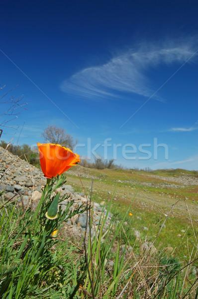 poppy flower  Stock photo © marcopolo9442