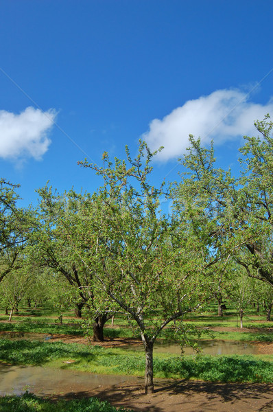 orchard in springtime Stock photo © marcopolo9442